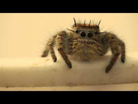 Phidippus Carolinensis Jumping Spider Being Cute