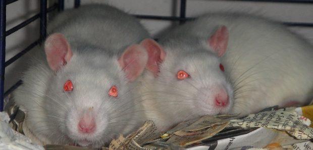 cremehuskys otis und pete ratten