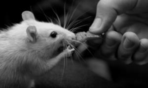 tierversuche animal testing rat ratte vegan kosmetik