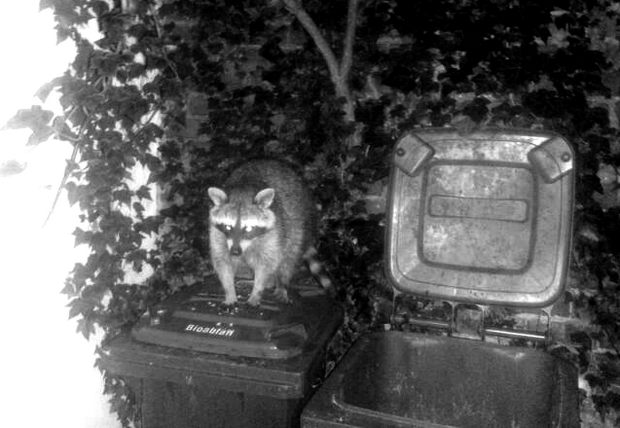 waschbär raccoon kassel vegan erbse kosmetik 2