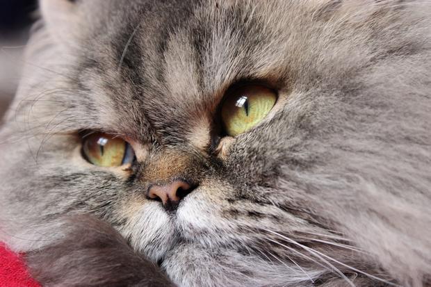 vegan nailpolish nagellack cruelty free tierversuchsfrei cat katze perser amaru euorpäische perser persian cat long hair