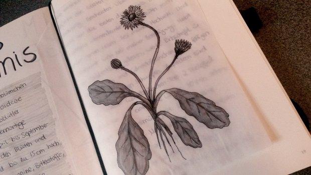 Gänseblümchen botanik zeichnung illustration vegan Pflanzen