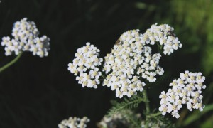 Schafgarbe Kassel vegan kosmetik Haare no poo Haare waschen Kräuter Haarkräuter Kalender
