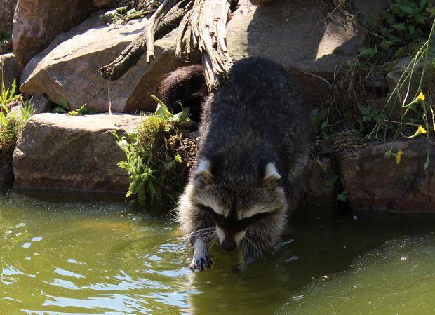 Waschbär raccoon sababurg kassel am Wasser