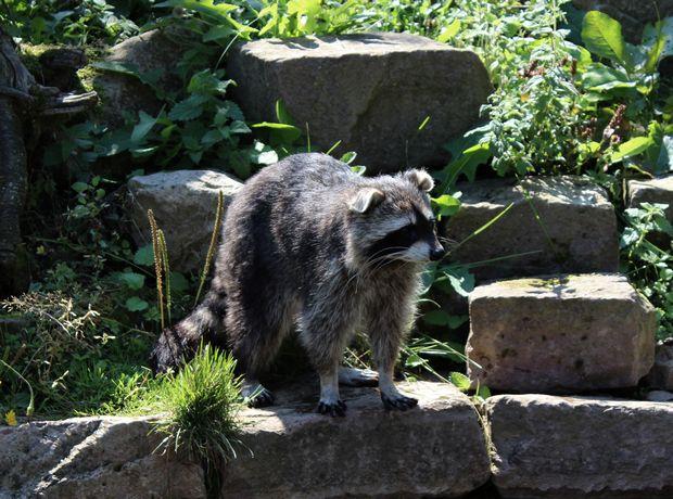 Waschbär raccoon sababurg kassel