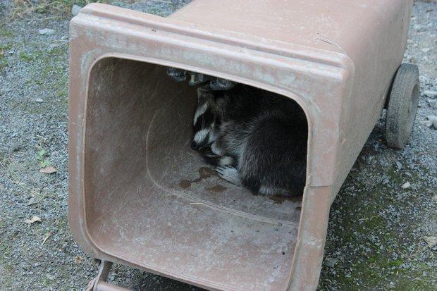 Waschbaer raccoon Kassel vegan schlafend