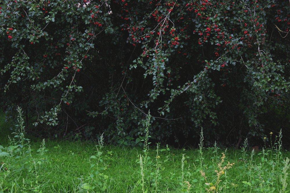 Wiese mit roten Früchten